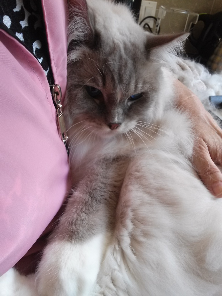 Silver's so relaxed that he feels like a bowl of jello. Some cats LOVE LOVE LOVE being held close.