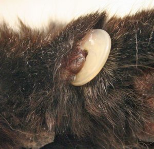 Claw embedded in paw. Happens more often with old or fat cats. Rare with young and healthy cats.