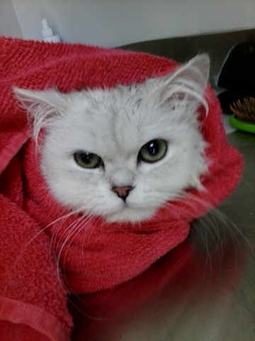 Persian cat grooming