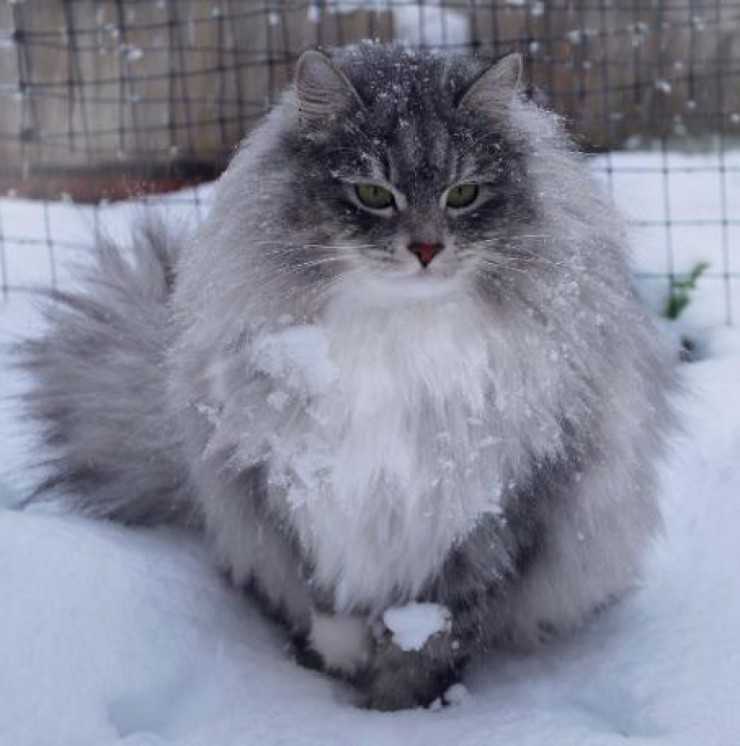 cropped-siberian-in-snow.jpg