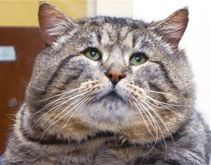 Obese cat euthanized due to inability to move.
