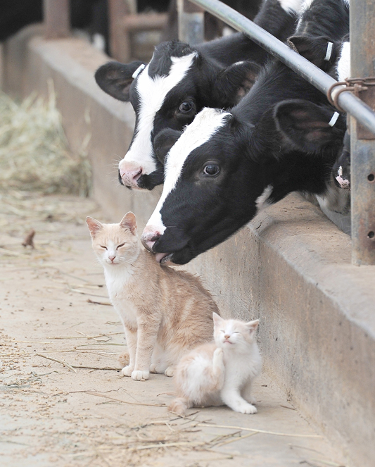 Album-Calf-Cats-WEBSITE-831-Oct-20-2011