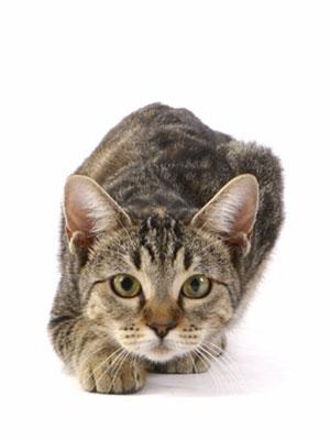 hunting-cat_-istock